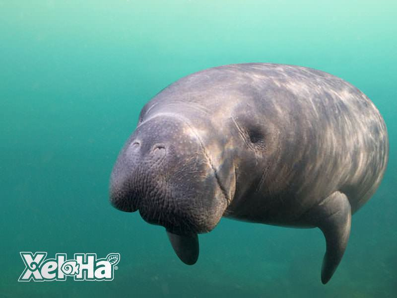 Manatee Encounter_5